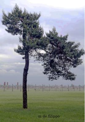 109.5 albero Birkenau